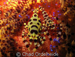 A pair of Colemen Shrimp nestled in their colorful Anemone. by Chad Ordelheide